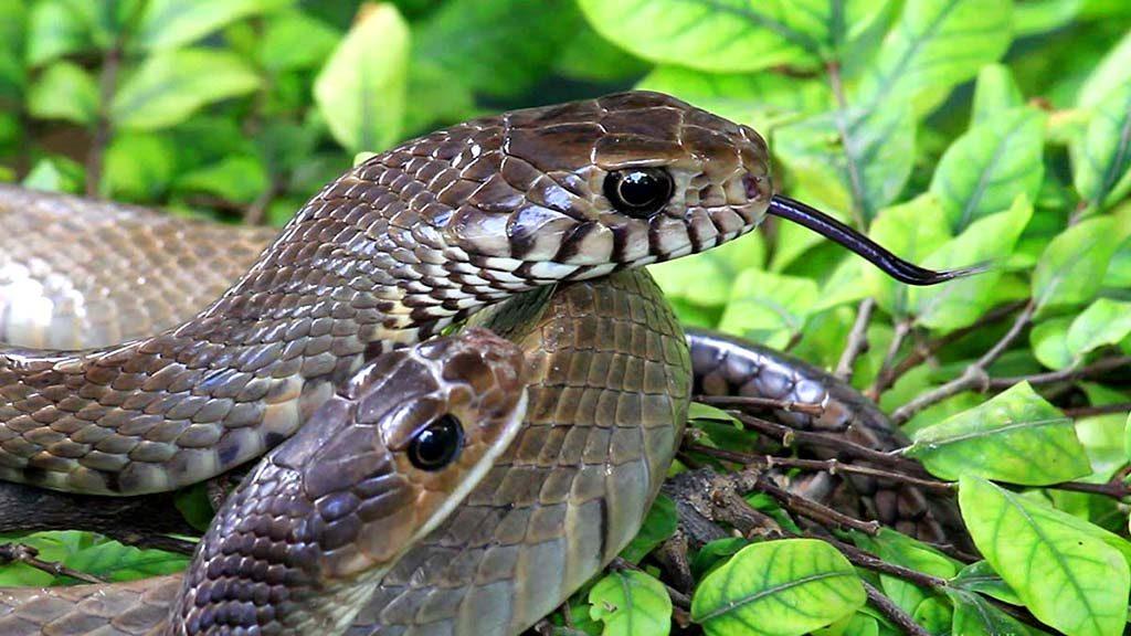 Queen Saovabha Institute snake farm