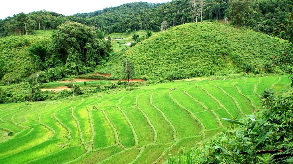 Rice fields in Doi Inthanon.