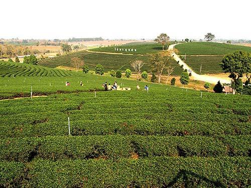 Choui Fong Tea Plantation.
