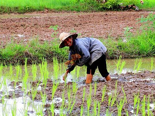 Rice fields, Surin, Isaan.