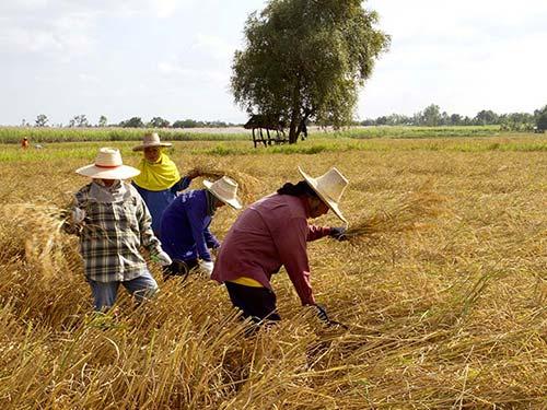 Harvesting rice fields, Isaan.
