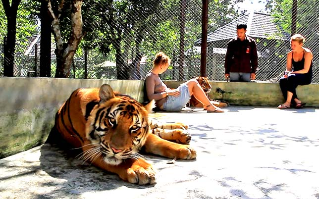 Visitors inside a cage with tigers.