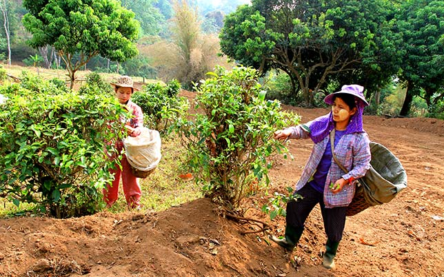Young people of the Lahu tribe working in the hills.