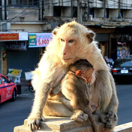 Monkeys in Lopburi.