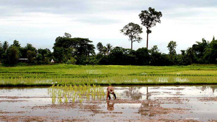 Sakon Nakhon rice fields